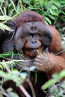 Adult Male Orangutan (Pongo pygmaeus) - Samboja Lestari National Park is the location of Samboja Lodge as part of BOS (The Borneo Orangutan Survival Foundation)