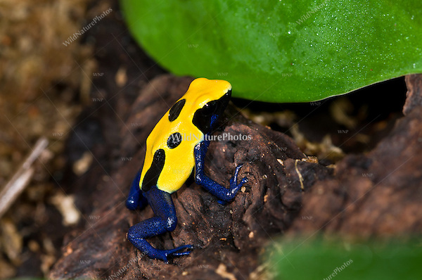 "The Yellow and Blue ""Citronella"" Poison Dart Frog (Dendrobates tinctorius ""Citronella""), is a color morph of the Dyeing Dart Frog (Dendrobates tinctorius), captive"