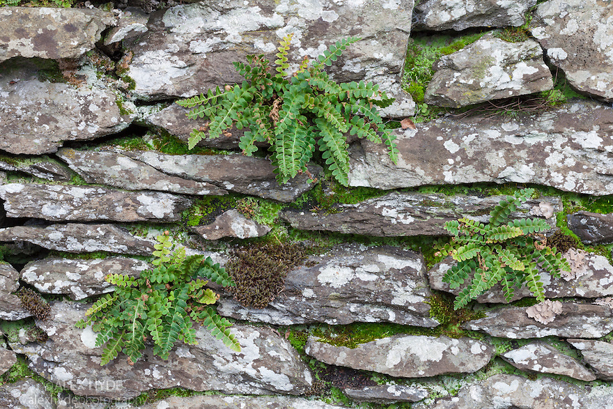 Rustyback Ferns {Asplenium ceterach (syn. Ceterach officinarum)} growing in a dry stone wall. Ambleside, Lake District National Park, Cumbria, UK. February.