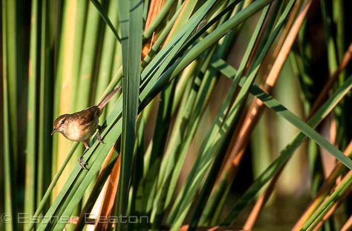 Clamorous Reed Warbler (Acrocephalus stentoreus) Fam Sylviidae, among reeds, early morning. Kimberley, Western Australia