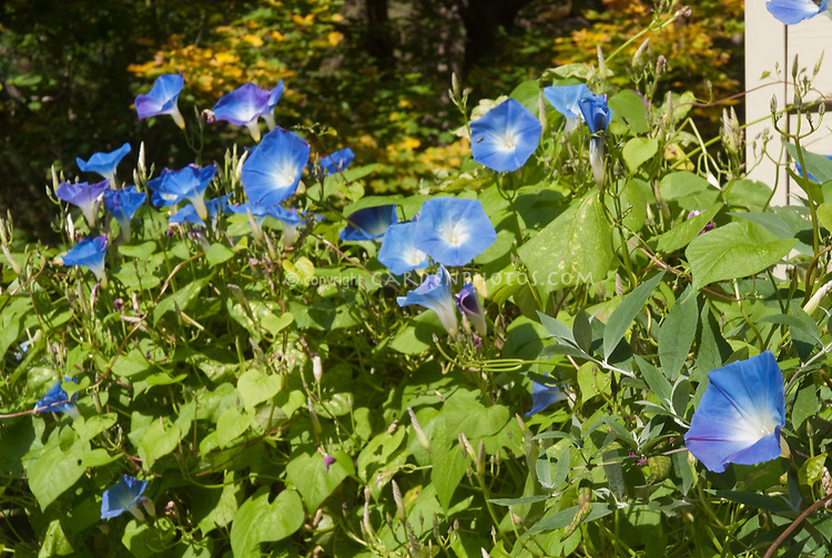 Ipomoea purpurea Morning Glory Heavenly Blue vine