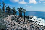 Opuntia Catus, Opuntia Cactaceae, Galapagos Islands, prickly pear, coast, rocky