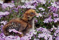 Brown Hampshire Chick, Maine USA