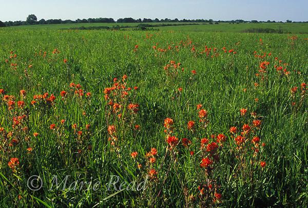 Taberville Prairie, with flowering Indian Paintbrush (Castilleja coccinea) in May, Missouri, USA.<br /> Slide # PRAMO-08