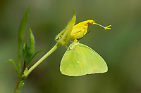 390210003 male cloudless sulphur butterfly phoebis sennae perches on a small flower stem over a creek in marijilda canyon graham county arizona