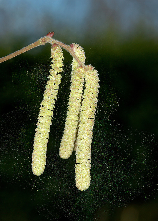 Hazel Corylus avellana Betulaceae - catkins releasing pollen. Height to 6m. Multi-stemmed shrub, or short tree. Bark Smooth, shiny, peeling into papery strips. Branches Upright to spreading. Twigs with stiff hairs, buds oval and smooth. Leaves Rounded, to 10cm long, hairy above; heart-shaped base and pointed tip. Margins double-toothed. Reproductive parts Male catkins to 8cm long, pendulous and yellow. Female flowers red and tiny; produce hard-shelled nuts. Status Common, often coppiced.