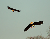 Bald eagle returning to perch after attacking Harlan's red-tailed hawk