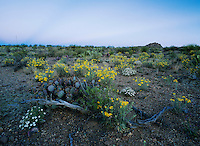 Desert in bloom with Paper Flower, Plains Black-foot, Big Bend National Park,Texas, USA
