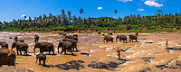 Pinnawala Elephant Orphanage, panoramic photo of elephants and mahuts in the Maha Oya River near Kegalle in the Hill Country of Sri Lanka, Asia. This is a panoramic photo of elephants and mahuts at Pinnawala Elephant Orphanage in the Maha Oya River near Kegalle in the Hill Country of Sri Lanka, Asia.