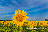 63801-07515 Sunflower field Sam Parr State Park Jasper County, IL