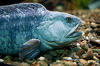 A Spotted wolffish (Anarhichas minor - loup tachete) is pictured at the Aquarium du Quebec in Quebec city March 2, 2010. The Aquarium is the home of 10,000 marine animals including fish, reptiles, amphibians, invertebrates, and sea mammals.