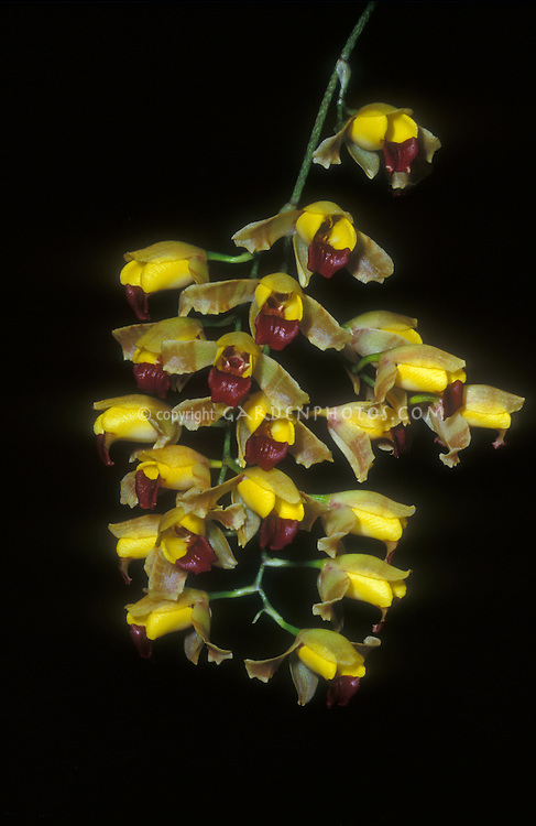 Baptistonia echinata Orchid Species, bumblebee orchids resemble a swarm of bees, also known as hedgehog orchid. Floral oil is the reward for fertilization.