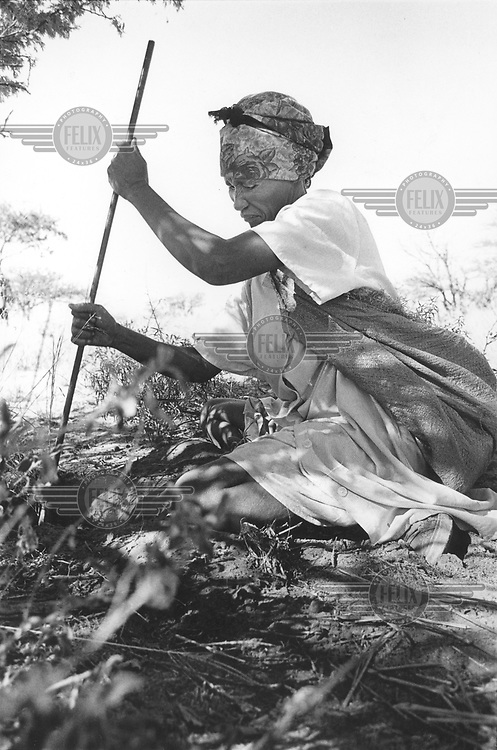 © Paul Weinberg / Panos Pictures..d'Kar, BOTSWANA..San Bushman woman looking for roots, which are one of the most important staples of the Bushmen's diet.