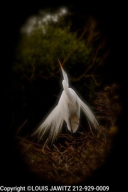 bird,mating call.wakodahatchee,wetlands.