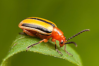 Three-lined Potato Beetle (Lema daturaphila), West Harrison, Westchester County, New York
