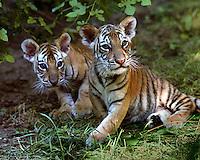Endangered Malayan tiger cubs (Panthera tigris jacksoni), Cincinnati Zoo (Ohio)