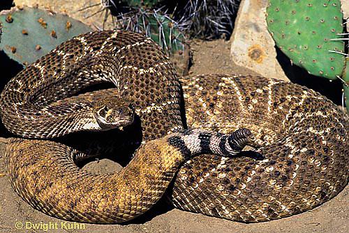 1R15-026z  Western Diamondback Rattlesnake.Critalus atrox
