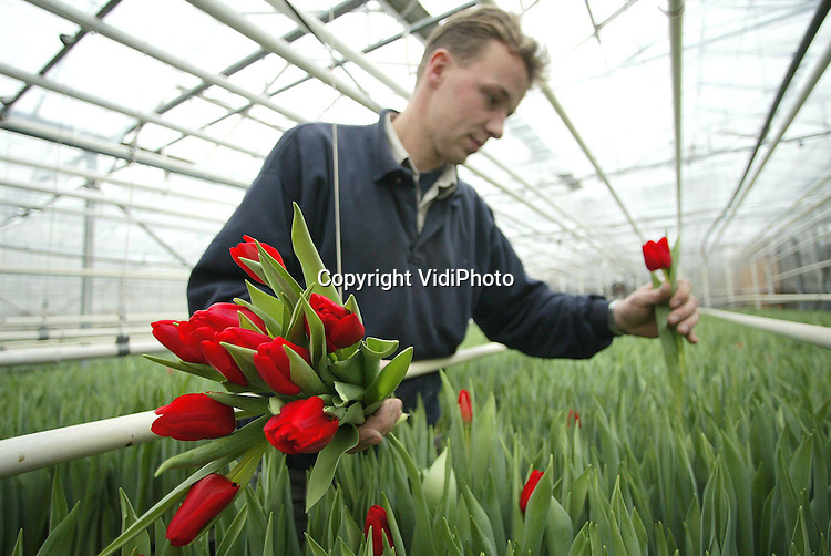 Foto: VidiPhoto..OPHEUSDEN - Het tulpenseizoen is weer begonnen. Kweker Jan Arends uit Opheusden is de eerste die zijn bloemen voor de klok brengt op de Bloemenveiling in Bemmel (VON). Doordat de bollen dit jaar zijn gegroeid tijdens een warm voorjaar, verwacht Arends een vlot broeiseizoen. De prijs van de tulp is volgens VON het afgelopen jaar fors gestegen, ondanks dat het aanbod nauwelijks toenam. Na de roos, was de tulp op de Bloemenveiling in Bemmel het meest populair.
