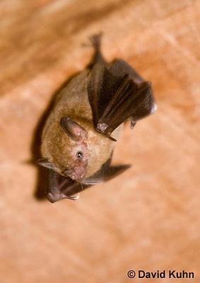 0715-1103  Seba's Short-tailed Bat, Roosting in Building in Belize, Carollia perspicillata  © David Kuhn/Dwight Kuhn Photography