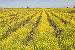 Golden mustard flowers in an old vine red wine grape vineyard near the Mokelumne River.
