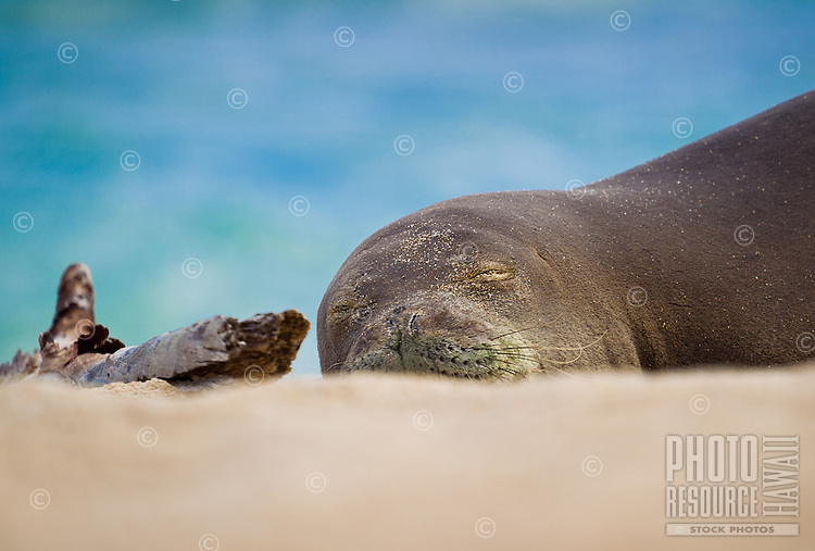 A female Hawaiian monk seal sleeps next to driftwood on a quiet beach in Hawai'i.