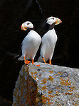 Often when I am photographing people or doing portraits of animals, I try to find a dark background to frame the subject.  This allows the detail of the subject to come forward in the frame and draws in the attention of the viewer.  The white-chested puffins against the shadowy cliff are a perfect example of this. Horned puffins, Lake Clark National Park, Alaska, USA.