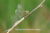 06361-003.04 Common Green Darner (Anax junius) female in wetland, Marion Co.  IL