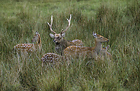 Sika, Sika-Hirsch, Sikahirsch, Sikawild, Sika-Wild, Cervus nippon, sika deer