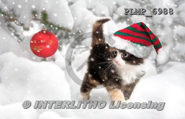 Marek, CHRISTMAS ANIMALS, WEIHNACHTEN TIERE, NAVIDAD ANIMALES, photos+++++,PLMP6988,#XA# cat  santas cap,