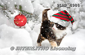 Marek, CHRISTMAS ANIMALS, WEIHNACHTEN TIERE, NAVIDAD ANIMALES, photos+++++,PLMP6988,#XA# cat  santas cap,
