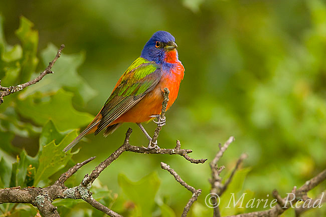 Painted Bunting (Passerina ciris)  male, Wichita Mountains NWR, Oklahoma, USA