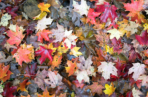 Colorful leaves on the ground in the woods in Berkeley Springs, West Virginia on October 23, 2004..Credit: Ron Sachs / CNP