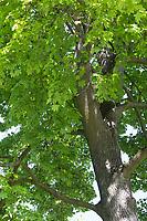 Spitz-Ahorn, Spitzahorn, Spitzblättriger Ahorn, Ahorn, Acer platanoides, Norway Maple, Maple, L'Érable plane, Érable de Norvège, Iseron, Plane, Main-découpée, Plaine, Faux Sycomore