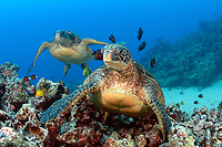 green sea turtle, Chelonia mydas, being cleaned by tangs and other reef fish at cleaning station, endangered species, Maui, Hawaii, USA, Pacific Ocean