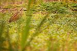 American Bittern (Botaurus lentiginosus) in marsh, Point Reyes National Seashore, California