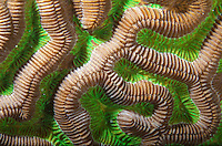 Symmetrical Brain Coral<br />
