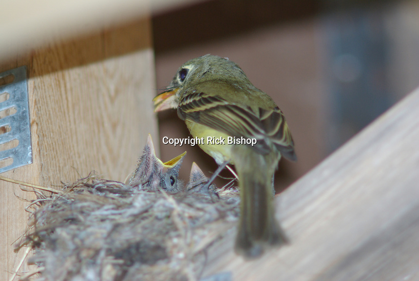The Young Western Flycatchers look hungry with dad at the nest, under a cabin in southern Utah.