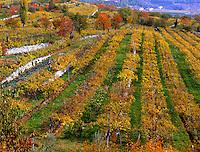Italy, Lombardy, Lake Garda, Bardolino, vineyard