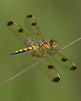 Calico Pennant (Celithemis elisa) Dragonfly - Female, Ward Pound Ridge Reservation, Cross River, Westchester County, New York