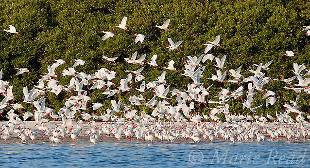 Flock of White Ibis (Eudocimus albus) in breeding plumage, taking flight from beach by their mangrove-covered island rookery, Tampa Bay, Florida, USA