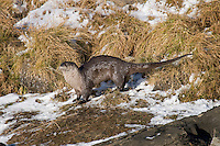 Northern River Otter (Lontra canadensis) scent marking--this is a very common activity that otters do to mark their territory.  This location along the Yellowstone River is an otter signpost and every otter passing by will stop and sniff around before leaving its scent.