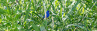 Indigo bunting in July