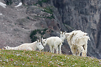 "Mountain Goat (Oreamnos americanus) nannies and kids on edge of alpine meadow in the Beartooth Mountains near the Wyoming/Montana border.  The nanny (on right) is still shedding from her heavy winter coat of fur to a new ""summer weight"" fur coat which will grow long again for the next winter."