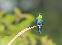 Male green-crowned woodnymph, Thalurania fannyi, perched on a branch at San Jorge Eco-Lodge, Milpe, Ecuador