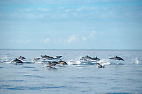 Common dolphin, San Diego, Delphinus delphis, California, East Pacific Ocean