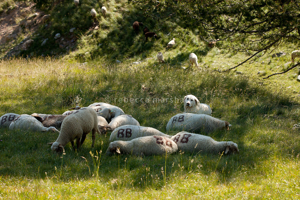 A 'Patou' dog [Great Pyrenees sheepdog] protects a small group of sleeping sheep in Bernard Bruno's flock on mountain pastures above the Plateau de Longon, in the Moyenne Tinée region of the Mercantour National Park, French Alps, France, 01 August 2013. Bernard has 11 Patous that stay constantly with the flock to protect the sheep from wolf attacks.