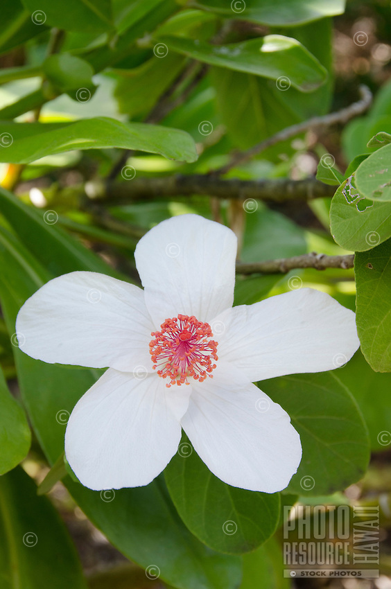 The native Hawaiian koki'o ke'o ke'o is the white hibiscus found on O'ahu and Moloka'i. It is also known as pua aloalo in Hawaiian.