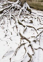A tree spreads it's roots which are exposed due to regukar flooding and water flow over them, Matthiessen State Park, LaSalle County, Illinois