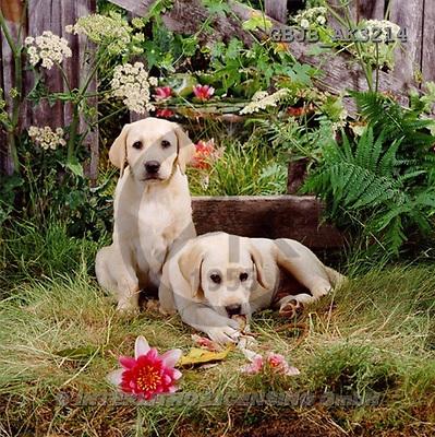 Kim, ANIMALS, dogs, photos(GBJBAK3214,#A#) Hunde, perros ,puzzles