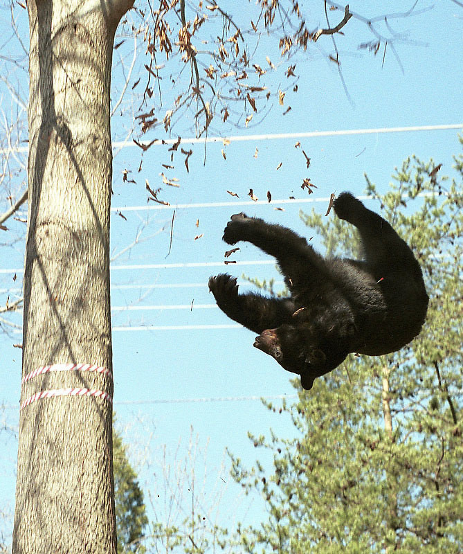 A black bear falls from a tree in the median of the Route 29 in Albermarle County near Charlottesville, Va. on Thursday, April 11, 2002 after being tranquilized by wildlife officials. The bear was first hit by a car Wednesday evening and was eventually captured by the Virginia Department of Game and Inland Fisheries. Wildlife officials then took the animal to an undislosed location, where they said they would attend to the  broken leg they said the bear suffered when it was hit by the car Wednesday night.  (AP Photo/The Daily Progress, Andrew Shurtleff)